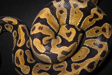 Photo of royal python's skin