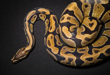 Photo of royal python