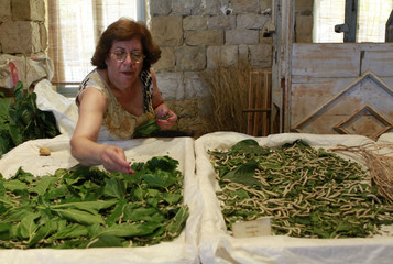 A Lebanese woman feeds mulberry leaves to silkworms at silk museum in Bsous village in Mount Lebanon