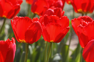 Beautiful red tulips in the garden