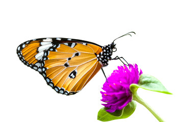 butterfly on violet flower isolated on white background