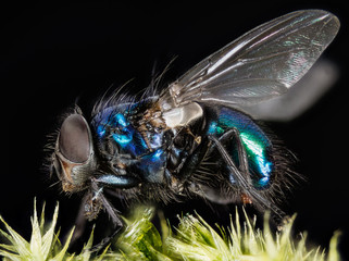 Focus Stacking - Common Blue Bottle Fly, Bluebottle Fly, Flies
