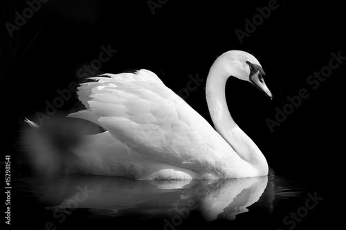 cygne oiseau noir et blanc plume gracieux l gant romantique amour animal stock photo and. Black Bedroom Furniture Sets. Home Design Ideas
