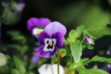 isolated blue pansy