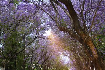 blooming jacaranda is very beautiful in spring Park