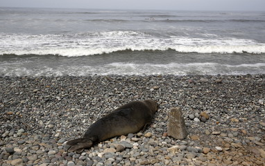 An elephant seal is seen in a sick condition on a beach at Miraflores district of Lima