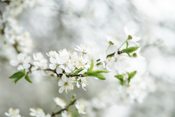 Blossoming of cherry flowers in spring time, natural seasonal vintage hipster background