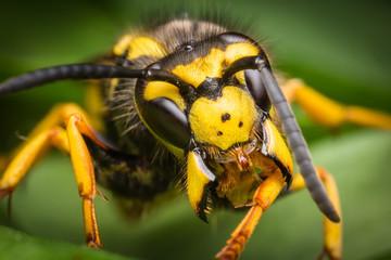 Wasp macro portrait