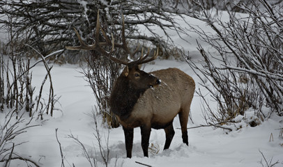 An elk searches stands on the wooded edge of meadow in Banff National Park near Lake Louise