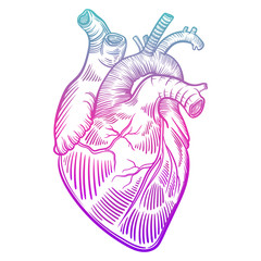 Vector art with a human heart. A healthy human heart. Vintage illustration with a linear heart.