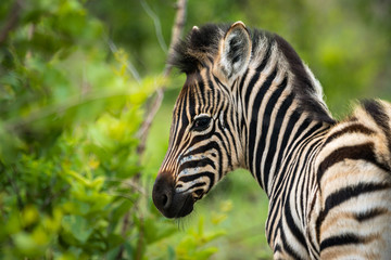 Zebra Fohlen auf Safari im Krüger Nationalpa