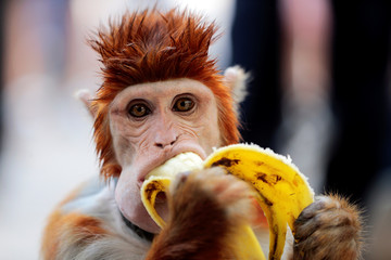 A monkey eats a banana as it takes a break from performing at a cultural center in Islamabad