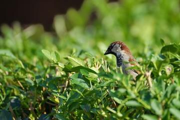 House Sparrow sitting on the green bush.