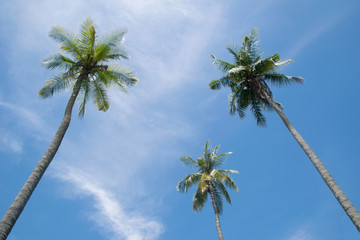 Up view coconut tree and blue sky