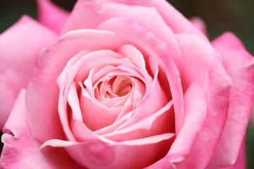 ブライダルピンクの薔薇の花