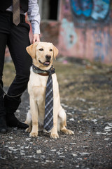 A young Labrador puppy in beige color in a tie, sits next to the owner