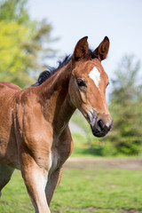 Portrat of cute small foal in summer pasture