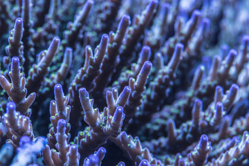 Closeup shoot of acropora sps stony hard  corals