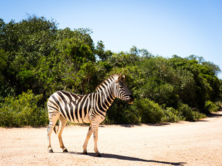 Wild African zebra posing in profile