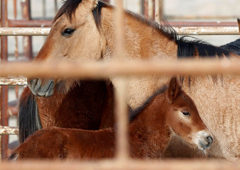 File photo of wild horses standing in a corral as the Bureau of Land Management (BLM) gathers the horses south of Garrison, Utah