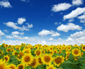 Wall Mural - field of blooming sunflowers