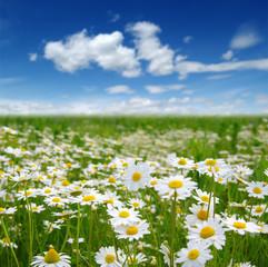 Foto op Plexiglas Weide, Moeras Field of daisies
