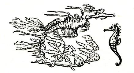 Leafy seadragon and seahorse