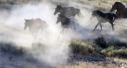 Wild horses run as they are gathered by the Bureau of Land Management (BLM) in the Conger Mountains near Border in Utah