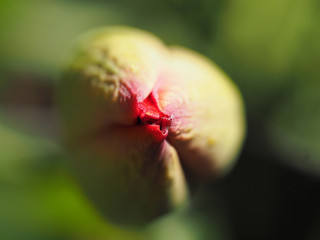 A macro shot of a tulip flower bud beginning to open