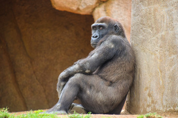 A gorilla resting  while people watch