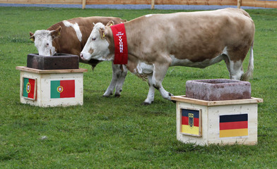 Oracle cow Yvonne and son Orki run to the Portugal feeding trough at Gut Aiderbichl in Deggendorf Eichberg