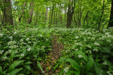 Wild garlic growing in the forest, spring  blooming time