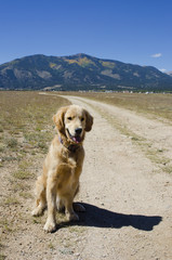 Golden Retriever Awaits Command From His Master