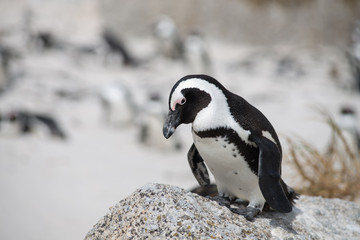 African penguin on the beach