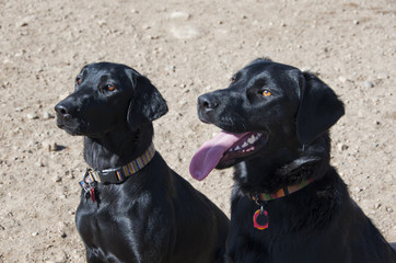 Two Black Labrador Retrievers