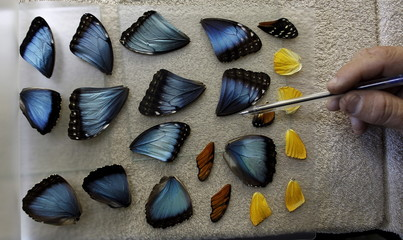 Frander Arroyo select wings of butterflies at Blue Morpho Butterfly House in Alajuela