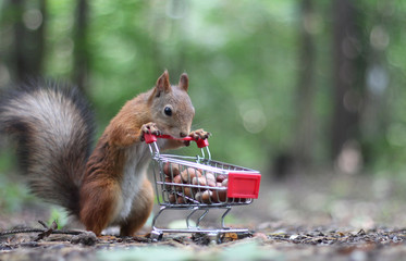 Poster Eekhoorn Red squirrel near the small shopping cart with nuts