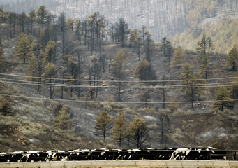 Cattle feed at a feedlot with burned forest from the High Park Fire seen in the background west of Fort Collins