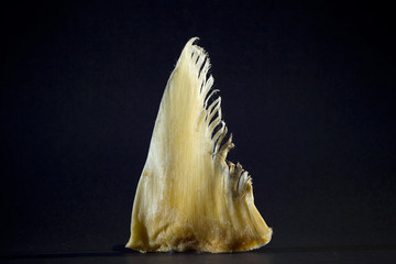 A shark fin from a Chinese Herbal store is photographed in a studio in Vancouver