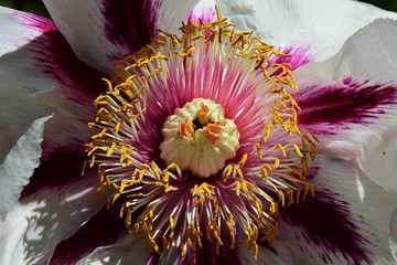 Center of large white and purple decorative flower with many stamens and large stigma and petals