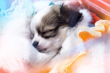 Chihuahua puppy sleeping under a blanket.