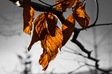 Orange beech leaves on branch illuminated by sun on black and white background in autumn