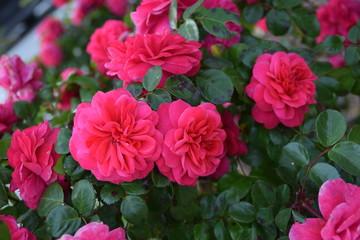 Rose fucsia