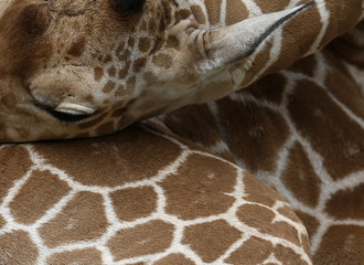 An unnamed new born male giraffe rests his head on his leg at the Brookfield Zoo near Chicago, Illinois