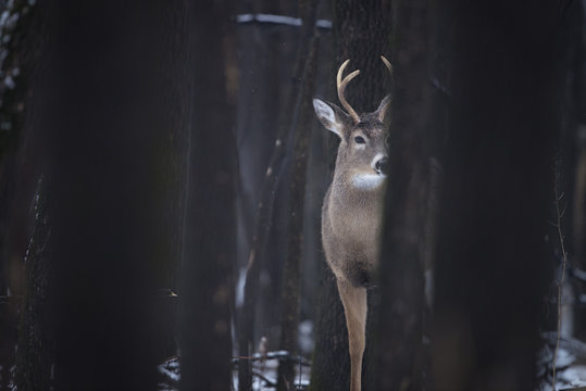 White-Tailed Buck in Forest