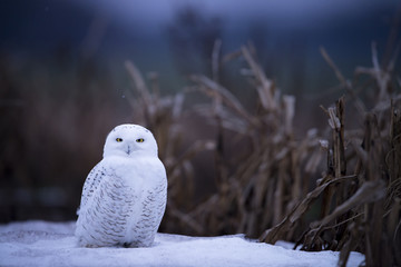 Snowy Owl on Ground