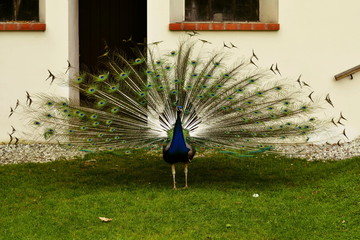 Blue Peacock showing his feathers