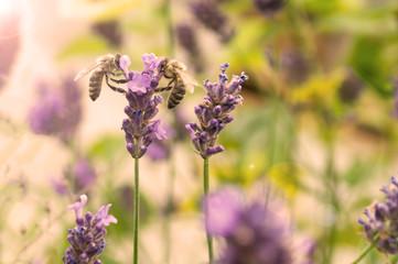 Bienen auf Lavendel