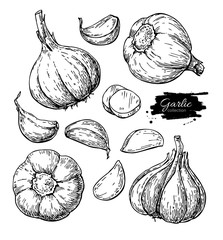Garlic hand drawn vector illustration set. Isolated Vegetable, c