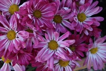 background of pink Chryshantemum
